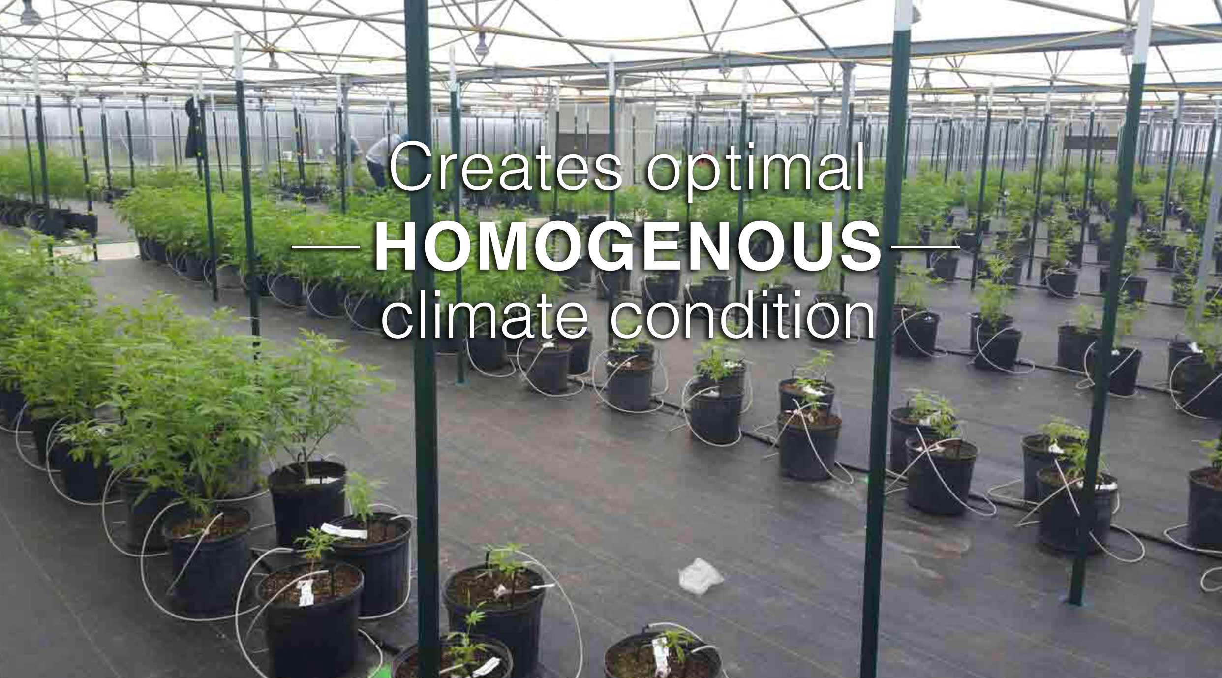 cannabis greenhouse optimal homogenous climate condition