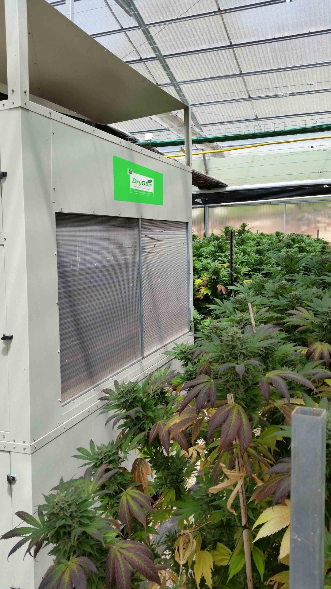 Cannabis Greenhouse marijuana greenhouses and industrial dehumidifier