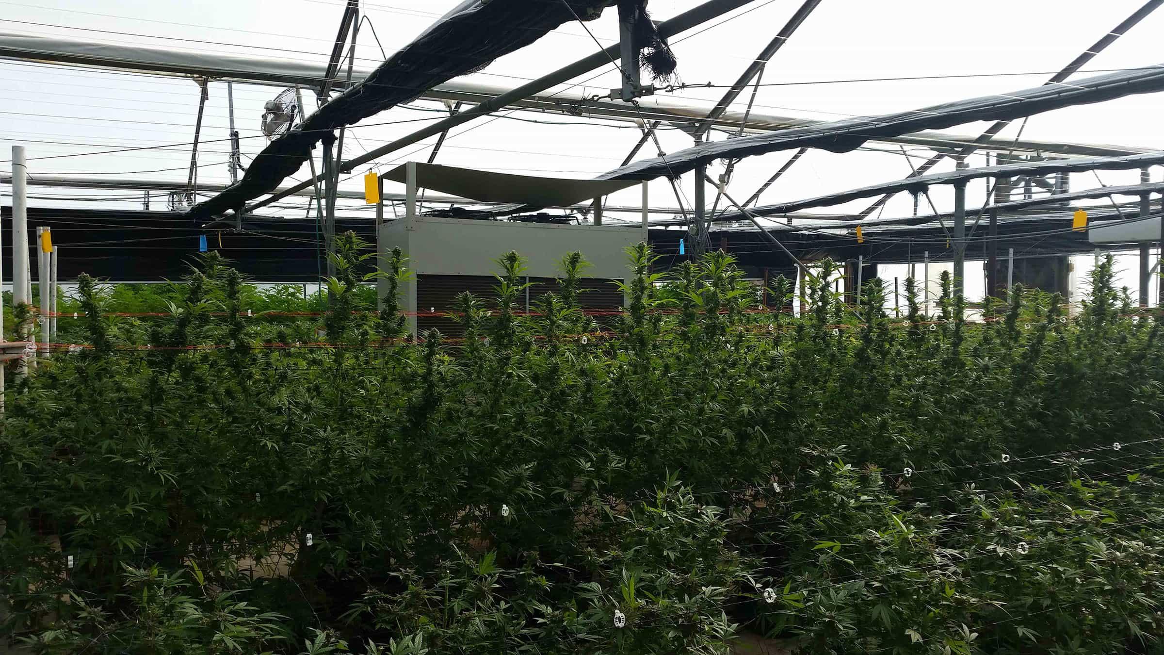 cannabis greenhouse marijuana greenhouses cannabis humidity withde humidifier