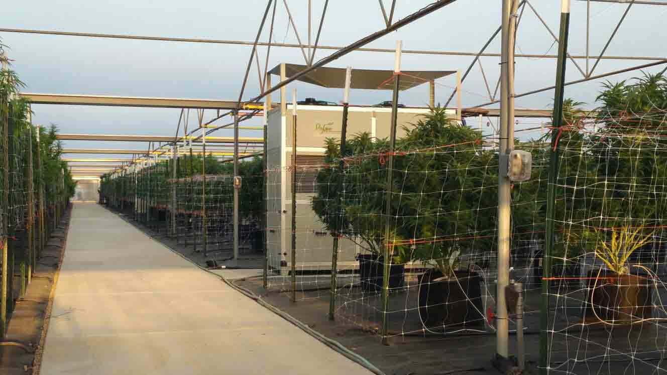 Cannabis Greenhouse Growing and dehumidifier