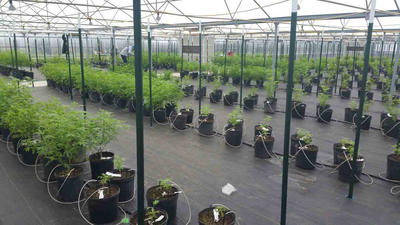 Cannabis Greenhouse Growing with dehumidifier in the middle