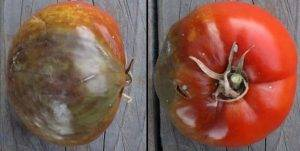 Blight infected tomato