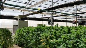 cannabis greenhouse marijuana greenhouses