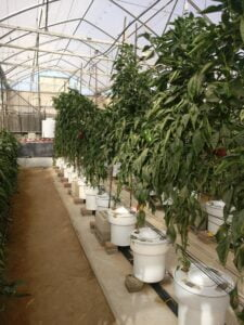 Peppers Greenhouse irrigation trials