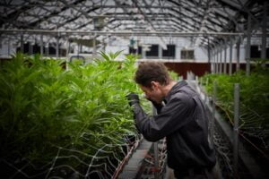a guy examine plants in greenhouse