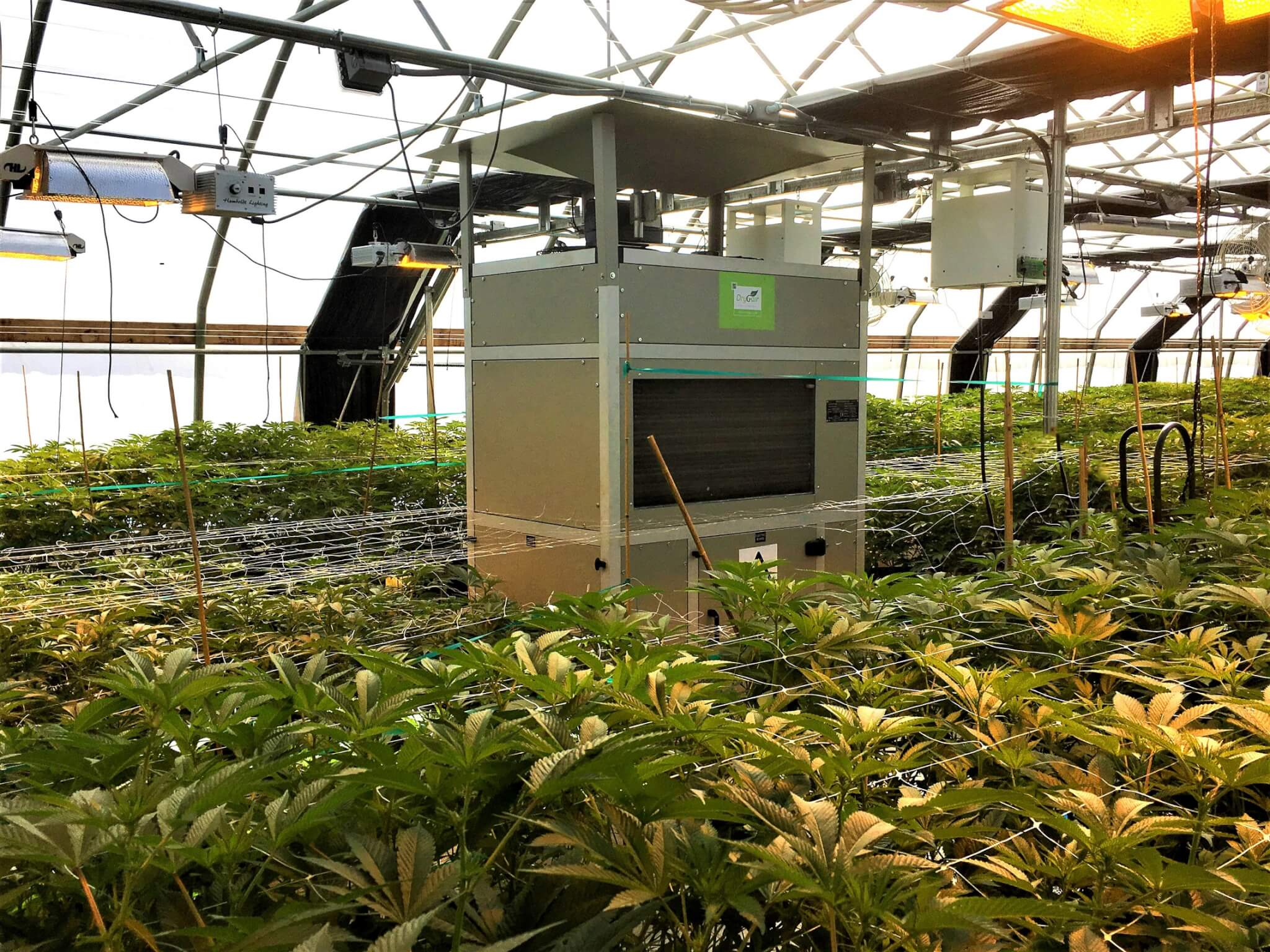 DG-3 in a Cannabis greenhouse