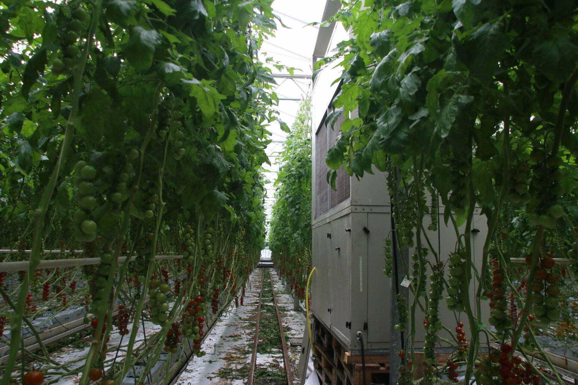 Along the aisles, tomato greenhouse