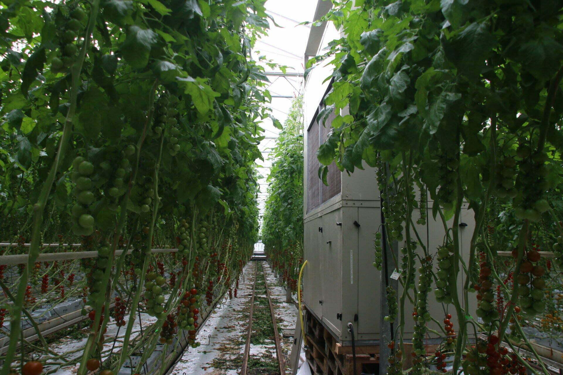 A lo largo de los pasillos, invernadero de tomate