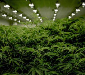 cannabis grow room_with drygair